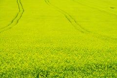 Fält av gult rapsfröjordbruk Arkivbilder