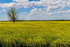 Fält av härliga ljusa gula växter för blomningCanola (rapsfrö) Royaltyfria Bilder