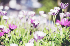 Fält av härliga vårliljablommor Royaltyfria Bilder