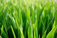 Fält av högväxt gräs Arkivbild
