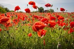 Fält av havre Poppy Flowers fotografering för bildbyråer