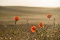 Fält av havre Poppy Flowers Arkivfoto