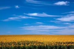 Fält av horisontalljusa solrosor Fotografering för Bildbyråer