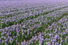 Fält av hyacinten Royaltyfri Bild