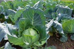 Fält av kål på lantgården med organisk produktion Royaltyfri Bild