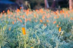 Fält av Kalifornien vallmo (den Eschscholzia californicaen) Arkivfoto