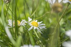 Fält av kamomillväxter på trädgård arkivfoto