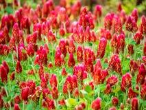 F?lt av karmosinr?d v?xt av sl?ktet Trifolium i blom royaltyfri foto