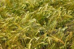 Fält av korn Royaltyfri Fotografi