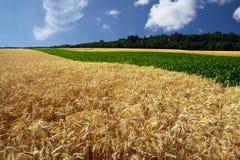 Fält av korn i sommaren arkivbild