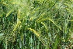 Fält av korn med kornöron Arkivfoto
