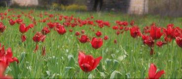 Fält av lösa röda tulpan Royaltyfria Foton