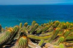 Fält av lösa växter på solig dag med kaktuns och stranden i backg Arkivfoton