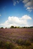 Fält av lavendel arkivfoto