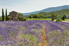 Fält av lavendel i Provence - Luberon Frankrike Fotografering för Bildbyråer