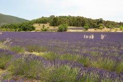 Fält av lavendel i Provence - Luberon Frankrike Royaltyfria Foton