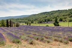 Fält av lavendel i Provence - Luberon Frankrike Arkivbilder