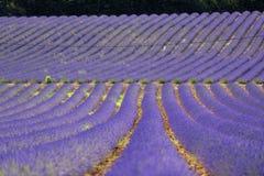 Fält av lavendel, Provence Arkivbild