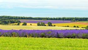 Fält av lavendel, Worcestershire, England Fotografering för Bildbyråer