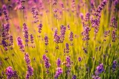 Fält av lavendelblommacloseupen på suddig bakgrund arkivfoto