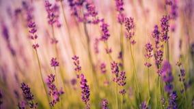Fält av lavendelblommacloseupen på suddig bakgrund royaltyfri bild