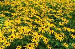 Fält av Lily Flowers i trädgården Royaltyfri Fotografi