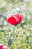 Fält av ljusa röda blommor för havrevallmo Royaltyfri Bild