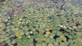 Fält av Lotus på en tropisk ö Bali, Indonesien Den härliga 4K flyg- platsen av lotusblommor, plumeriaträd, gömma i handflatan och lager videofilmer