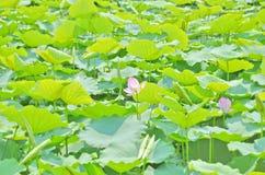 Fält av lotusblomma Arkivfoton