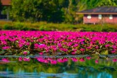 Fält av lotusblomma Royaltyfri Bild