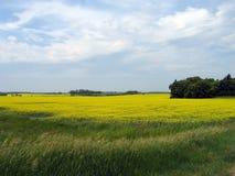 Fält av Manitoba Canola Arkivbilder