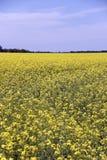 Fält av Manitoba Canola i blomning 5 Arkivbild
