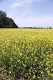 Fält av Manitoba Canola i blomning 6 Royaltyfria Foton
