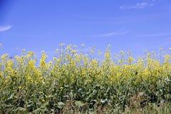 Fält av Manitoba Canola i blomning 7 Arkivfoto