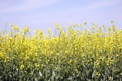 Fält av Manitoba Canola i blomning 8 Arkivfoton