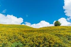 Fält av mexicanska solrosor på Doi Mae U Kor av Mae Hong Son, Th Royaltyfria Foton