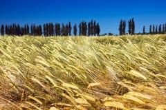 Fält av moget gult korn med popplar och blå himmel Fotografering för Bildbyråer