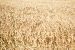 Fält av moget gult vete Fotografering för Bildbyråer