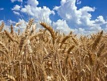 Fält av moget vete mot den blåa skyen Arkivfoto