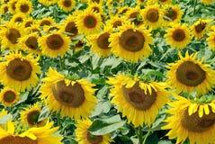 Fält av mogna unga solrosor i sommaren. Royaltyfri Bild