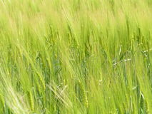 Fält av mognande grön råg Royaltyfri Fotografi