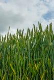 Fält av ny grön havre Fotografering för Bildbyråer