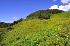 Fält av ogräset för mexicansk solros med blå himmel Arkivfoto