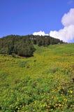 Fält av ogräset för mexicansk solros med blå himmel Royaltyfri Bild