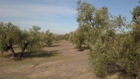 Fält av olivträd nära Jaen, mjuk kamerarörelse i 4k lager videofilmer