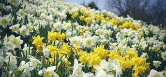 Fält av påskliljor i Virginia Royaltyfria Bilder