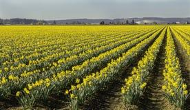 Fält av påskliljor som metas till rätten Arkivbilder