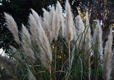 Fält av papyrusväxter royaltyfri foto