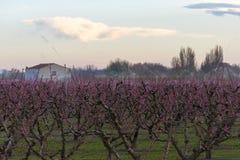 Fält av persikaträdet, i blom, med spridare på soluppgång arkivbild