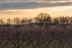 Fält av persikaträdet, i blom, med spridare på soluppgång arkivbilder